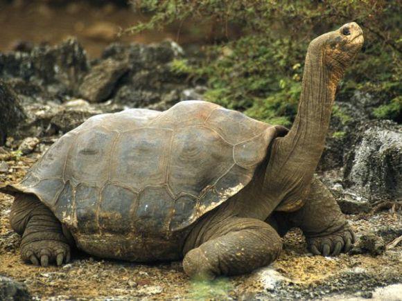 Tortuga de las Galápagos. Foto: Tim Laman
