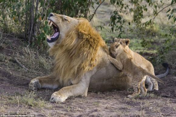 El león con su cría. Foto: Daily Mail