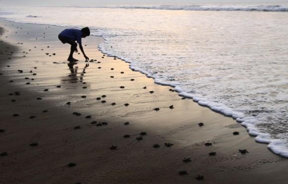 Un niño ayuda a una tortuga recién nacida a entrar en el mar en una playa en el distrito de Ganjam en Odisha, la India, el 26 de Abril de 2011. Foto: Biswaranjan Rout
