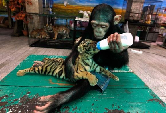 """DO DO, una chimpancé de dos años de edad alimenta a """"AORN"""", una cachorro de tigre de 60 días de edad en el zoológico de Samut Prakan a las afueras de Bangkok, el 30 de julio de 2011. Foto: Sukree Sukplang"""
