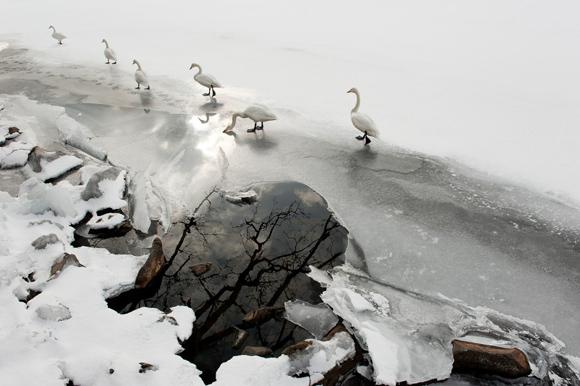 Cisnes cantores. Foto: Stefano Unterthiner.