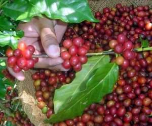 productor-cafe-escambray-foto-mireya-ojeda
