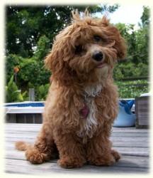 Los perros con aspecto de cachorro son muy populares entre los criadores caninos.