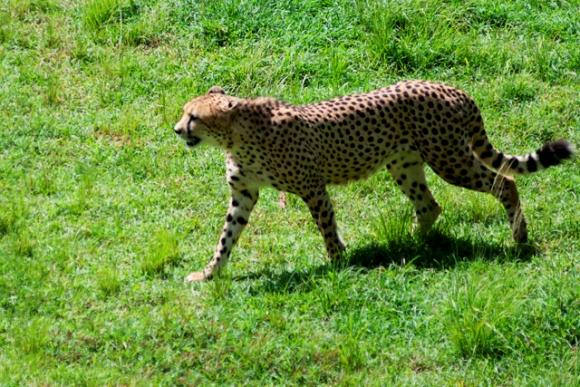 El guepardo, dueño absoluto de la velocidad en la carrera, lo cual le facilita la caceria.