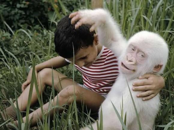 Gorila Albino. Foto talesmaze.com