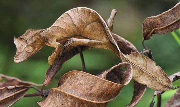 Salamanca satánica con cola de hoja. Foto talesmaze.com