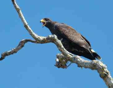E. Cuban Black-hawk
