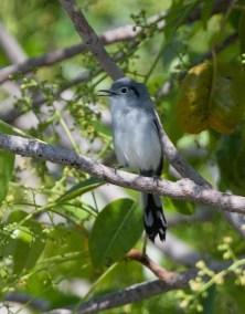 E. Cuban Gnatcatcher