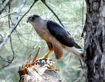 E. Gundalach's Hawk