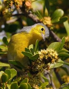 E. Oriente Warbler