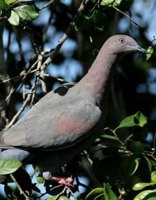 RE. Plain Pigeon