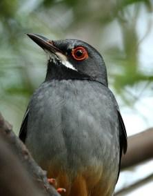 RE. Red-legged Thrush
