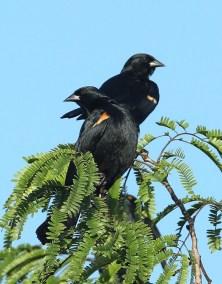 E. Red-shouldered Blackbird