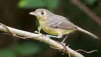 E. Cuban Vireo