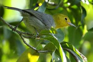 Yellow-headed Warbler