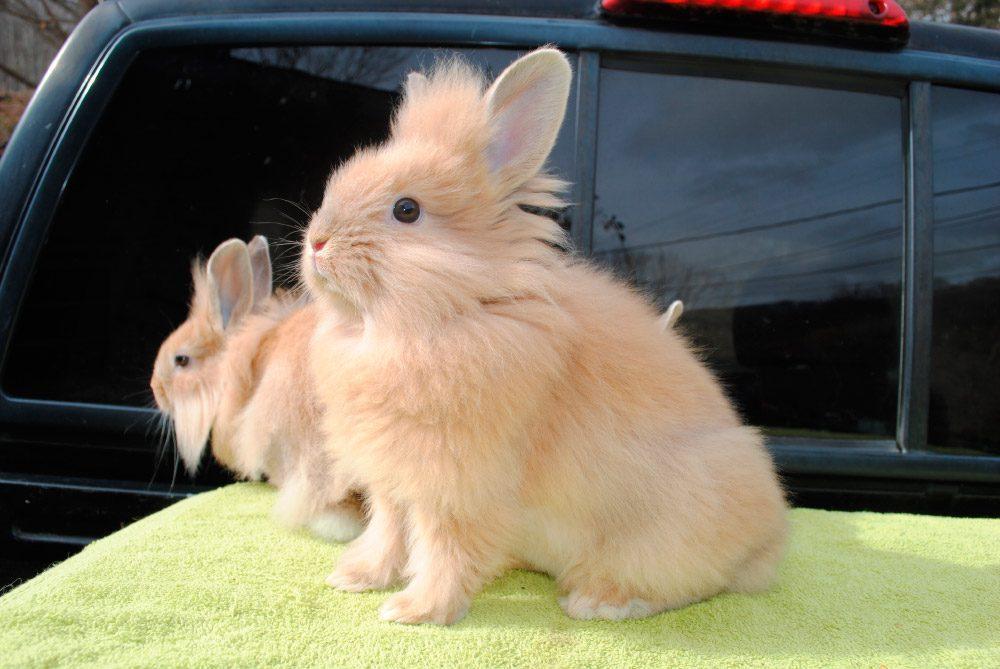 conejo cabeza de leon tipos de conejos