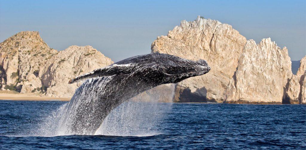Entre las ventajas que esta visitar San Jose del Cabo es poder ver la migración de la ballena gris