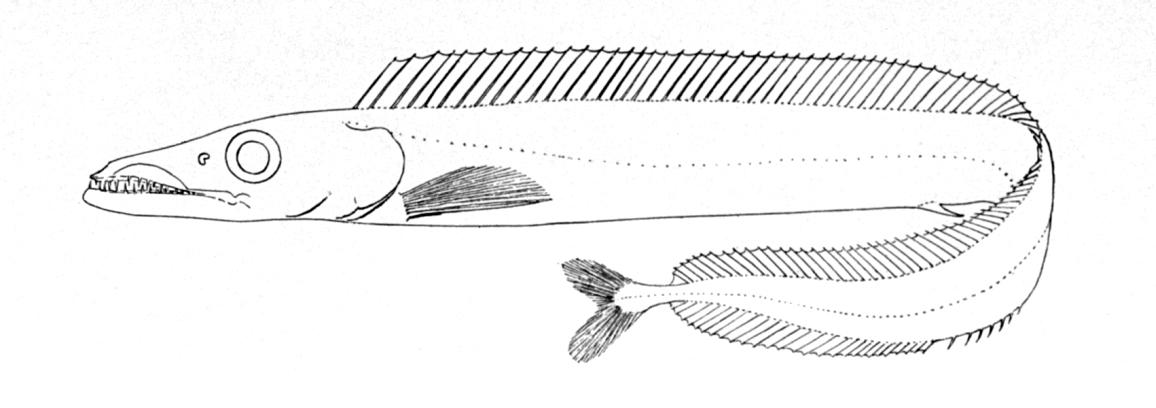 Características de la Aphanopus Carbo