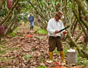 Cocoa production could have dramatic growth.