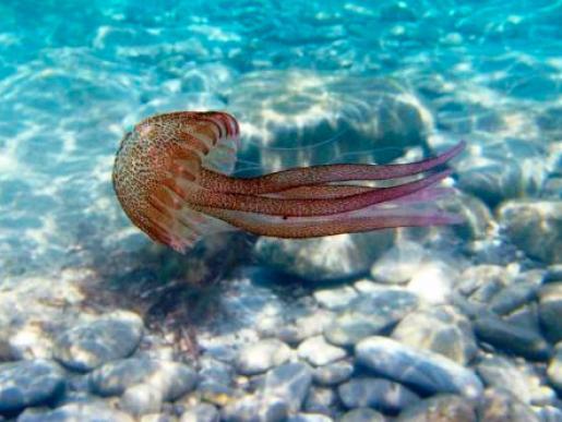 Las siempre peligrosas medusas