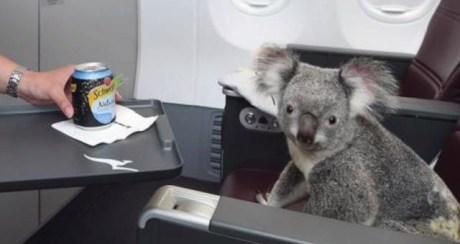 koala with drink