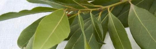hojas de laurel fresco