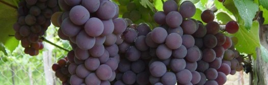 uvas parra