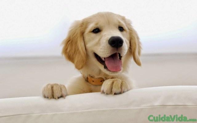 Labrador, perro feliz cachorro