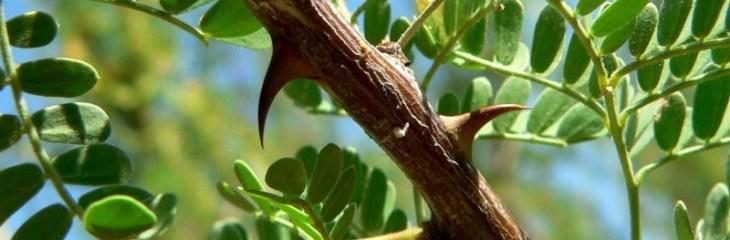 hojas-acacia