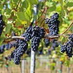 240 F 218335537 UpL0VjzUWulf1U82S6j8D631AT80A6qU - Dossier : La gastronomie en Bourgogne