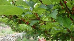 murier (morus nigra)