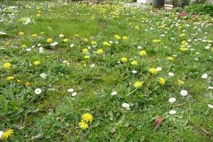 Gelée de fleurs de pissenlit (5)