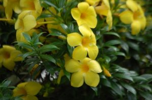 Alamanda-amarela