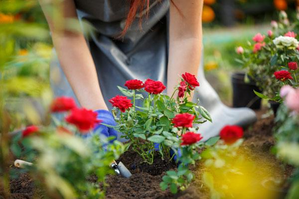 Plant de rose jardin