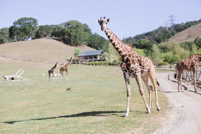 Safari West © Cultural Chromatics-4