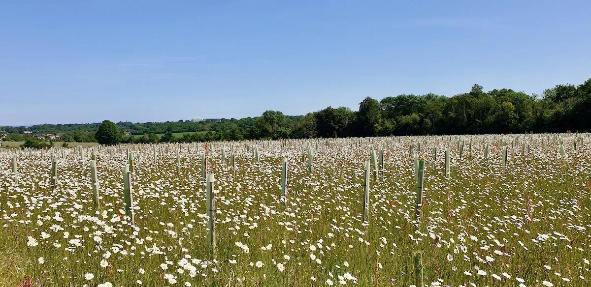 Jutland Wood planted to commemorate the sailors who died in the Battle of Jutland surrounded by a meadow of oxeye daisies at Langley Vale Wood