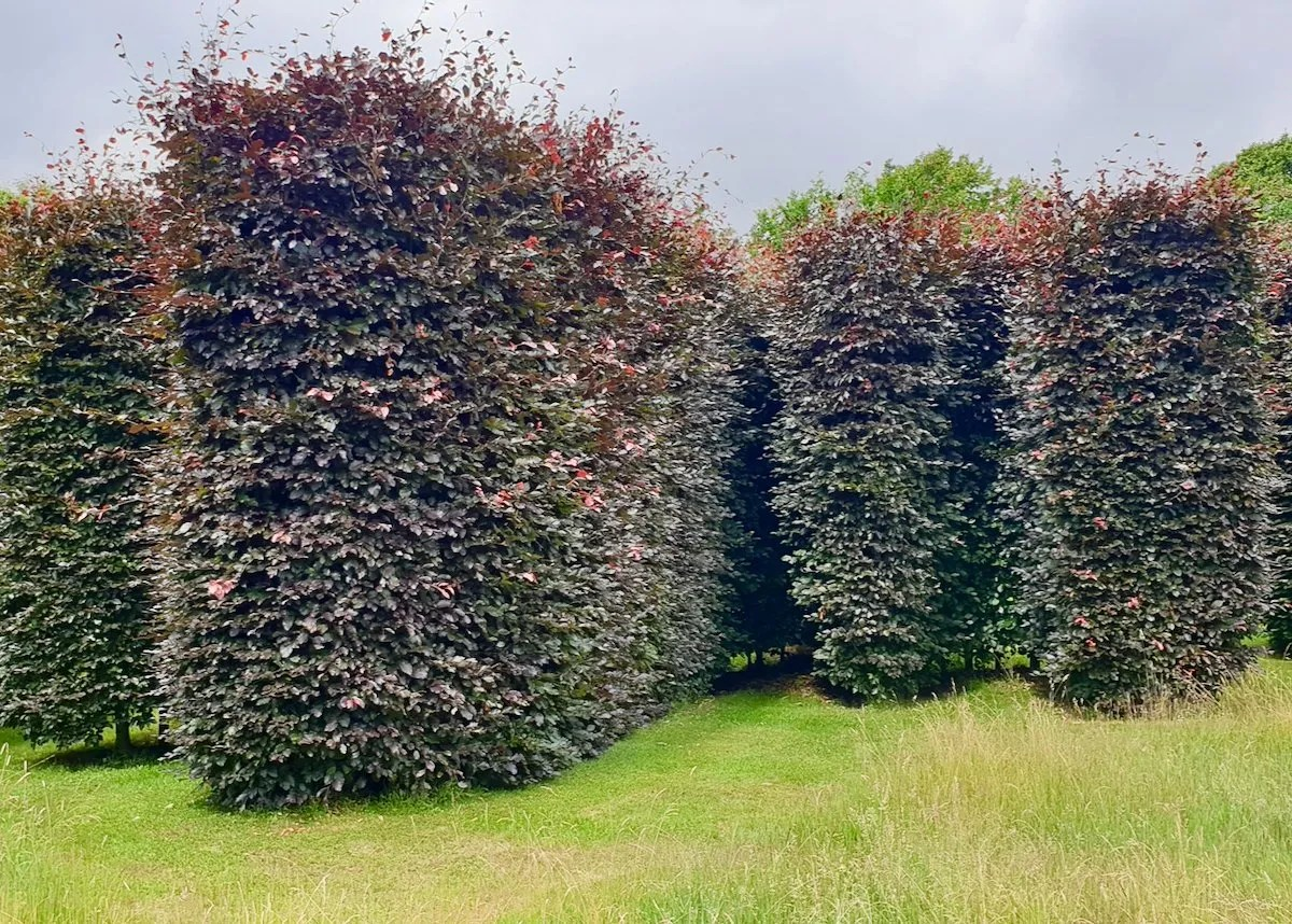 Sybil Hedge by Anya Gallaccio hedge of copper beech in the form of Sybil Cholmondeley signature at Houghton Hall Estate