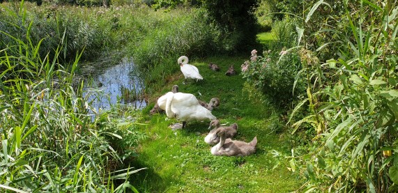 Swans and cygnets at Wheatfen Norfolk quiet Norfolk off the beaten track