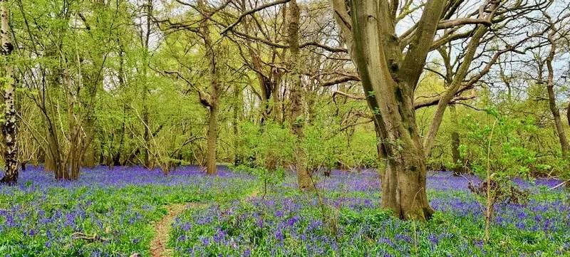 Bluebell Woods Epsom Downs Centenary Wood