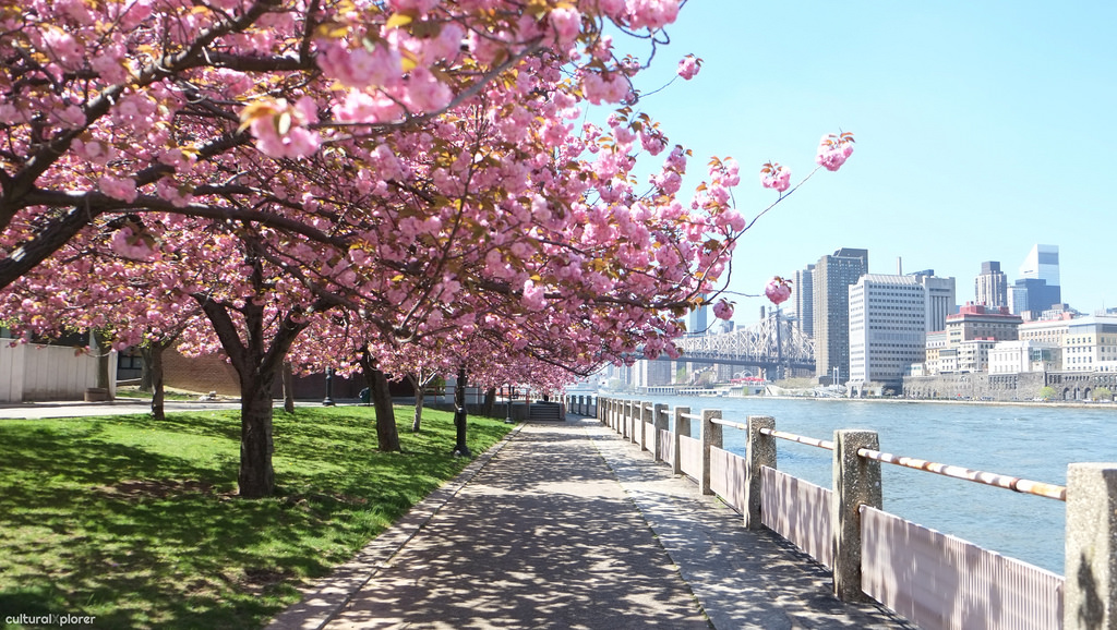 Cherry blossoms on Roosevelt Island