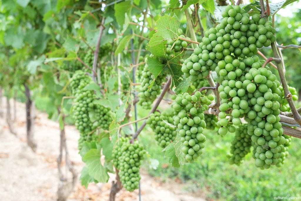 Pondview Grapes