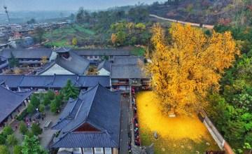 """XI'AN: ต้น """"แปะก๊วย"""" อายุ 1,400 ปี ผลัดใบสีทองอร่ามวัดเจ้าแม่กวนอิม"""