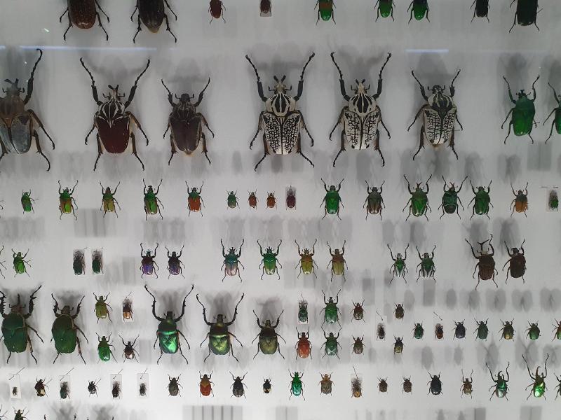 collection scarabée musée d'histoire naturelle toulouse