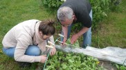 Récolte de radis !