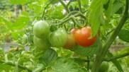 Les tomates rougissent !