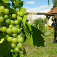 Le raisin mûrit petit à petit