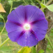 Ipomée violette