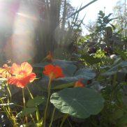 Capucines et rayons de soleil