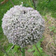 Fleur de poireau qui s'apprêtent à éclore