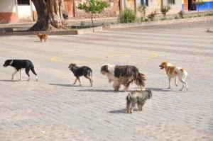 Cusco_DOgs